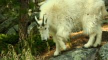 Mountain Goat Walks On Boulder Slope
