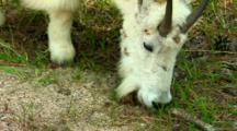 Mountain Goat Grazes