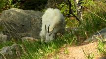 Mountain Goat Grazes On Slope