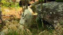Mountain Goat Grazes In Shade Near Boulder