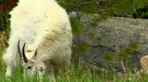 Mountain Goat Grazes, Good View Of Horns