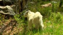 Mountain Goat Grazes