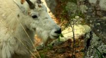 Mountain Goat Grazes On Leafy Branch