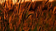 Prairie Grass Sways In Wind