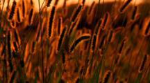 Prairie Grass Sways In Wind