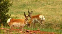 Pronghorn Antelope Stand In Field Near Rocky Ground