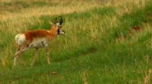 Pronghorn Antelope Walks Up Hill