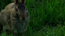 Eastern Cottontail Rabbit Feeds On Grass