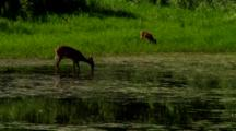 Whitetail Deer In And Around Wetland Pond