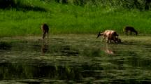 Whitetail Deer Families In Pond Water