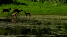 Whitetail Deer In Pond