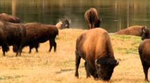 Bison Graze Near River As Bull Wallows In Dirt