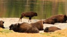Juvenile Bison Stretches Near Flowing River