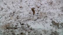 Coyote Pounces On Ground And Devours Dangling Prey