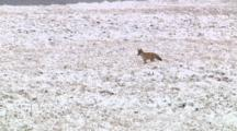 Coyote Listens For A Meal In Snowy Sagebrush