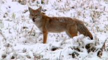 Coyote Devours Vole And Moves On