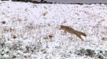Coyote Crouches, Waits And Pounces For Prey