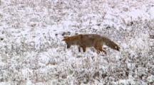 Coyote Cocks Head To Hear Prey Underground