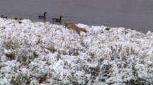 Coyote Pounces For Prey Near Yellowstone River