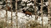 Elk Graze In Grand Teton National Park