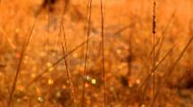 Morning Moisture On Plants Glisten Behind Swaying Prairie Grass