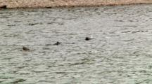 Otters Swim And Dive In Grand Teton National Park