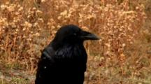 Raven Head Profile Curiously Looks Around