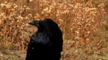 Raven Moves Head Around And Vocalizes