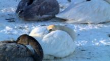 Trumpeter Swans Curl Up With Beaks Tucked Into Downy Feathers