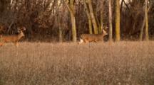 Whitetail Deer Bucks Parade Through Open Field