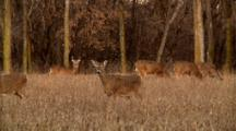 Whitetail Deer Gather In Open Field