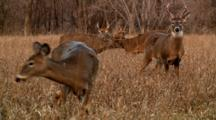 Whitetail Deer Bucks Lock Antlers In Open Field