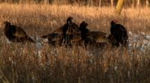 Rafter Of Wild Turkeys Find Food Before Sunset
