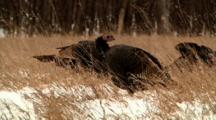 Wild Turkey Stands In Snow-Covered Field Zoom Shot