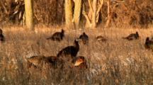 Wild Turkey Rafter Looks For Food Before Sunset