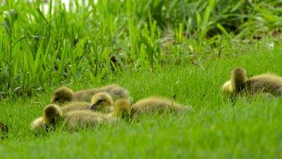 Canada Geese Goslings