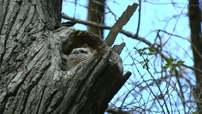 Great Horned Owl Fledgling In Tree