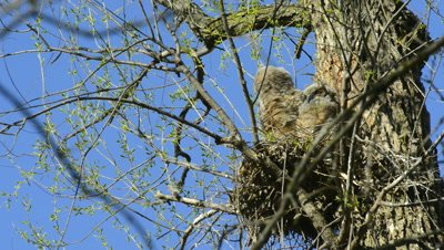 Great Horned Owl Occupied Nest With Fledglings