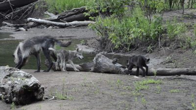 Gray Wolf And Pups Play By River
