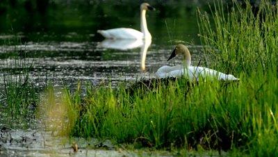 Trumpeter Swan Nests