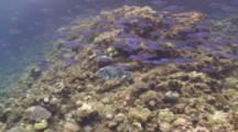 Star Puffer Fish Against Bluestreak Fusilier School