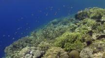Approach To Panda Butterflyfish Over Pristine Coral