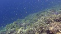 Huge Giant Clam Reveal Through Cloud Of Damselfish