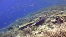 Scissortail Fusiliers Over Pristine Coral Garden