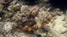 Poss's Scorpionfish Head Shot