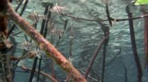 Obicular Cardinalfish In Mangrove Roots