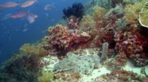 Tasselled Wobbegong Shark Twitching Tail