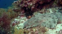 Tasselled Wobbegong Shark Head Shot