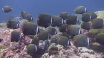 Collar Butterflyfish School