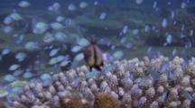 Blue-Green Chromis Sheltering In Coral